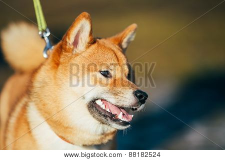 Close Up Beautiful Red Shiba Inu Puppy Dog Staying Outdoor