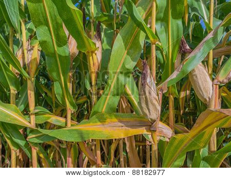 Image Of Corn Field And Sky In Background.