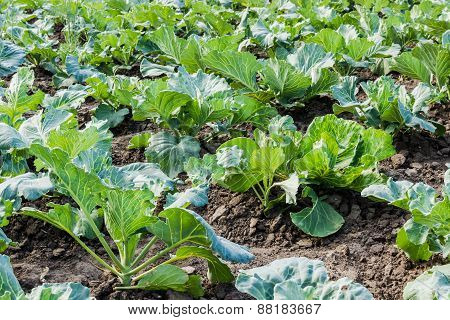 Garden Bed Of Cabbage