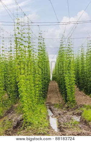 Plantation Of Hops
