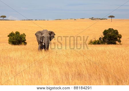 Elephant In Masai Mara