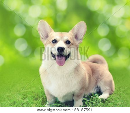Happy Dog Welsh Corgi Pembroke Sitting On The Grass In Sunny Summer Day