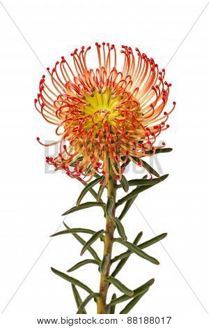 Pincushion Protea Flower