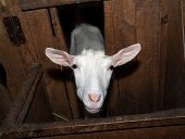 foto of saanen  - Saanen white  nice thoroughbred goat in barn - JPG