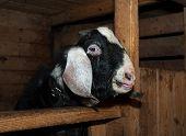 image of nubian  - Nubian black and white goat male in barn - JPG