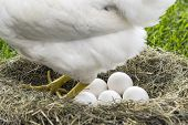 stock photo of egg-laying  - White hen laying eggs inside nest Free range chicken - JPG