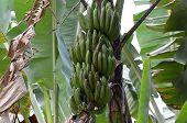 stock photo of banana tree  - green bananas growing on palm tree photo - JPG