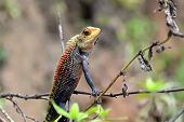 image of chameleon  - little color chameleon sitting in grass detail photography - JPG