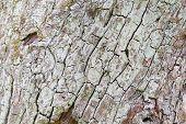 stock photo of lichenes  - white cracked bark  - JPG