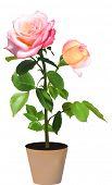 image of single white rose  - illustration with single rose in pot isolated on white background - JPG