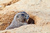 pic of prairie  - A closeup of the head of a black-tailed prairie dog ** Note: Shallow depth of field - JPG