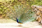 picture of pecker  - A beautiful male blue peafowl is displaying - JPG