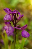 ������, ������: Wild Orchid Hybrid Anacamptis X Gennarii