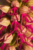 Постер, плакат: Orchid Hybrid Flower Detail Orchis X Bivonae
