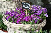 picture of lobelia  - pink and violet lobelia erinus in wicker basket - JPG