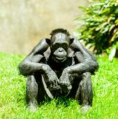 picture of chimp  - Thoughtful older chimp studying humans on a sunny day - JPG