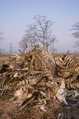 picture of cow skeleton  - a pile of bones of dead cows eaten by vultures - JPG