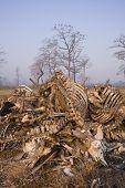 foto of cow skeleton  - a pile of bones of dead cows eaten by vultures - JPG