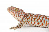 picture of tokay gecko  - Tokay Gecko Calling gecko isolated on white background - JPG