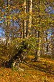 foto of serbia  - Colours of autumn in a forest at sunny day - JPG