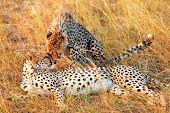 stock photo of cheetah  - Two cheetahs lying in grass having a rest after eating in Masai Mara Kenya - JPG