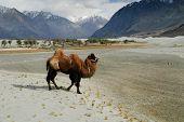 picture of karakoram  - Bactrian Camel in Nubra Valley Jamu  - JPG