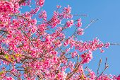 picture of fukushima  - Wild Himalayan Cherry flower - JPG
