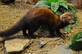 stock photo of taxidermy  - A stuffed and mounted Fisher Cat in its environment - JPG