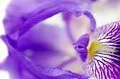 foto of purple iris  - detail of purple iris flower close up - JPG