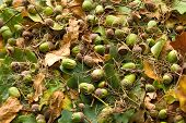picture of acorn  - Oak leaves and acorns on the dry and green leaves background - JPG