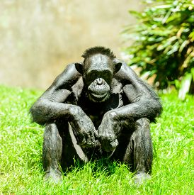 stock photo of chimp  - Thoughtful older chimp studying humans on a sunny day - JPG