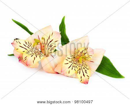 Alstroemeria Flower Isolated On White