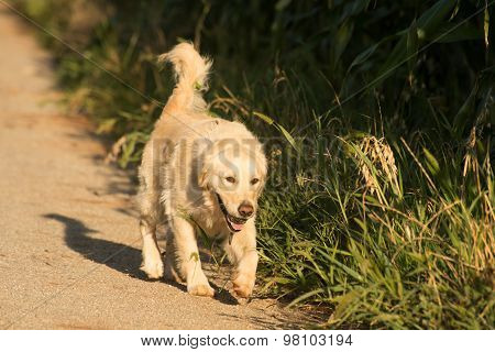 Golden Retriever On Gravel Road