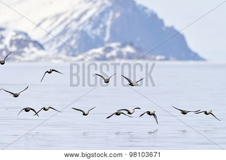 King Eider (Somateria spectabilis) in flight