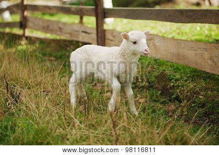 cute little lamb in the paddock