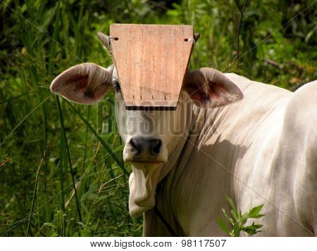 Bull with a board in front of his eyes