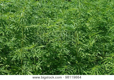 Marijuana background - Hennep or Cannabis (Cannabis sativa)