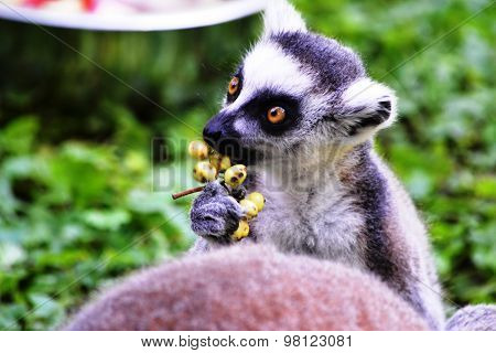 baby lemur eating berries at the zoo in Budapest (Hungary)