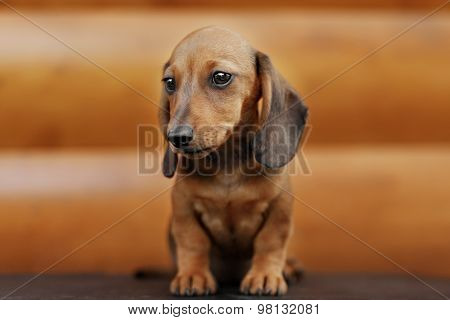 Close Up Portrate Of Red Dachshund