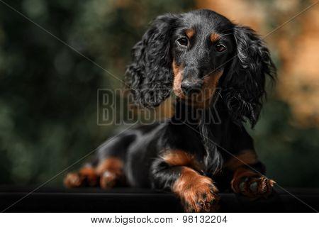Close Up Portrate Of Black Longhear Dachshund