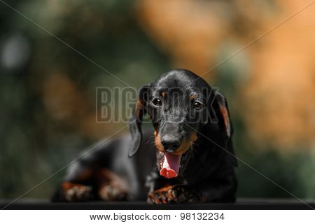 Close Up Portrate Of Black Dachshund