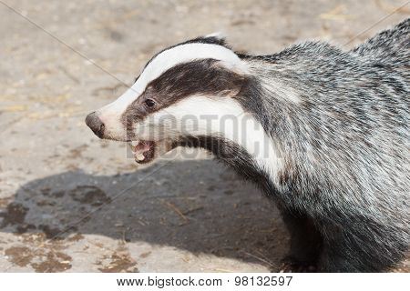 Mammal, Badger - Close-up