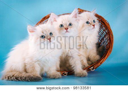 Three Neva masquerade  kittens on blue background