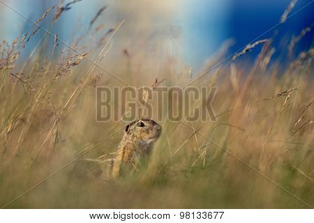 European Ground Squirrel In Yellow Grass And Blue Sky