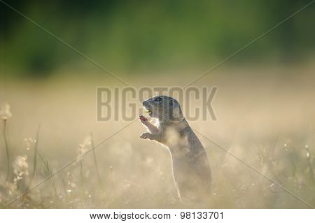 European Ground Squirrel Eating With Open Mouth