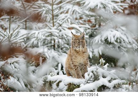 Eurasian Lynx Cub Standing In Winter Colorful Forest With Snow