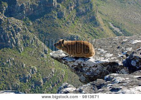 Table Mountain Hyrax