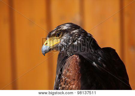 Harris's hawk (Parabuteo unicinctus). Wild life animal.