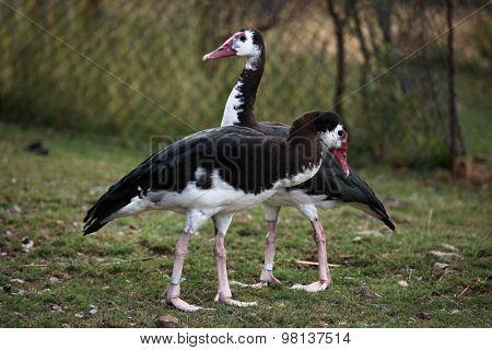 Spur-winged goose (Plectropterus gambensis). Wild life animal.
