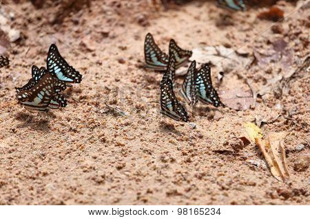 Group Of The Common Jay Butterfly